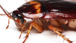 строение таракана рыжего
