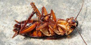 строение черного таракана