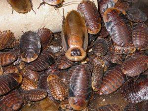разведение аргентинского таракана