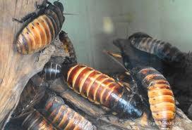 разведение таракана