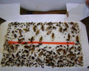 клей от тараканов