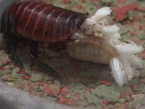 личинки от тараканов